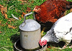Backyard chickens need to drink plenty of clean water, but their scratching can easily fling dirt into a low-set waterer