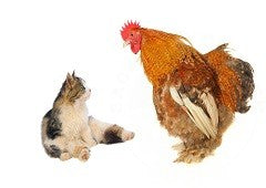 Chicken and cat together