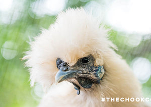silkie chicken breed features