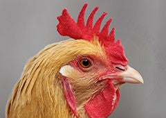 chickens with single combs are the most common