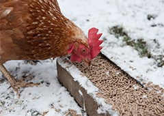 chicken eating pellets in snow