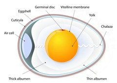 Diagram of a chicken egg