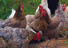 The Best Chicken Breeds For Different Sized Backyards