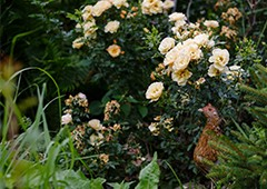 Chicken in backyard garden rose bush