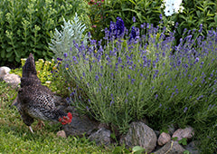 chicken near lavender plants in garden