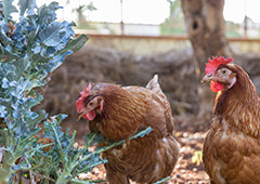 chickens eating leafy greens feature
