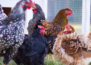 Top 20 Chicken Breeds for Your Backyard Coop