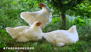 chickens sitting in shade of tree