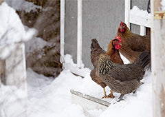 chickens standing in the snow outside
