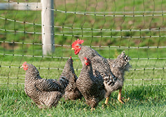chickens with electric poultry fencing