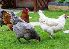 different chickens lay different numbers and colours of eggs