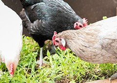 Mixed breed backyard chicken flock in mansion coop