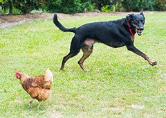 dog-chasing-chicken