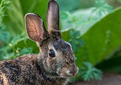 feral rabbit in vegetable garden