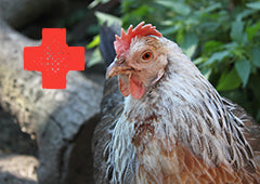 first aid for chickens