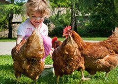 girl-feeding-isa-brown-chickens