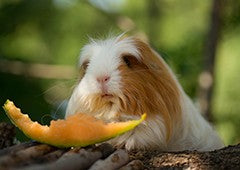 Rockmelon is a healthy treat that you can include in your guinea pig's diet
