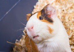 Guinea Pig Behaviour
