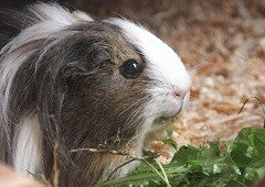 Guinea pig eating leafy greens