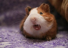 understanding the sounds guinea pigs use to communicate makes it easier to care for them|