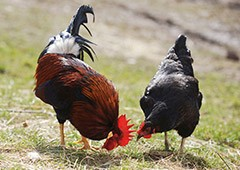 there are many differences between full-grown roosters and hens
