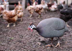 Keeping-Guinea-Fowl-With-Chickens
