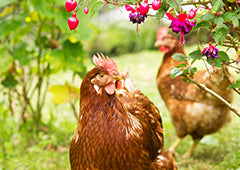 ISA brown chicken in backyard garden