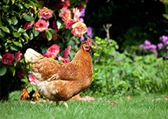 spring is a season in which everything thrives including backyard chickens