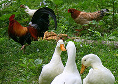backyard ducks and chickens foraging