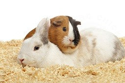 Although they are both friendly, rabbits and guinea pigs don't always get along