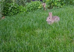 Rabbit hopping through backyard grass
