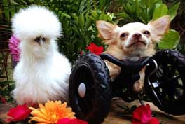 rescued-dog-and-silkie-chicken-become-best-friends