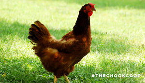 rhode island red chicken breed moulting