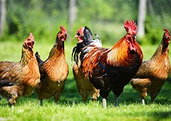 Roosters play an important role in the backyard chicken flock