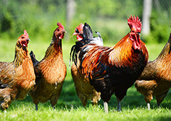 Rooster and chicken flock