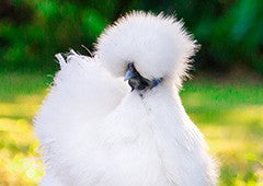 silkie bantam chickens are a popular pet for their gorgeous appearance and friendly personality