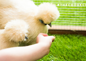 silkie chickens eating mealworms