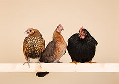 three bantam chickens on roosting perch
