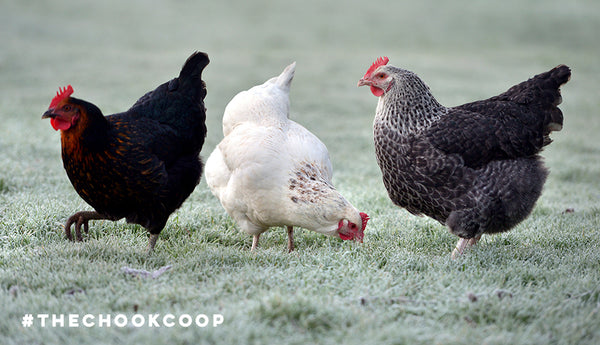 three chickens in frosty grass backyard