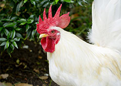 |roosters can be great guardians for your backyard chickens