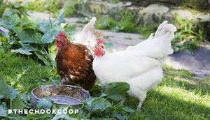 two backyard chickens drinking water