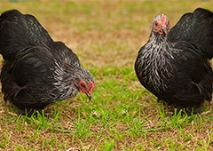Two cochin chickens in backyard