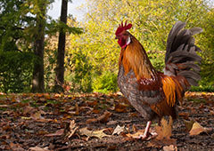 every backyard keeper needs a retirement plan for their roosters and cockerels
