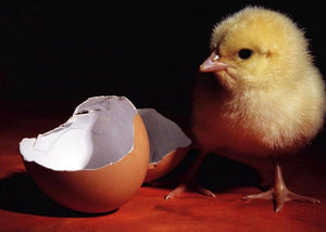 chick-and-egg-hatching