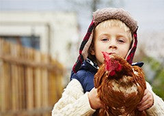 Young boy with isa brown chicken
