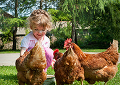 Young girl with backyard chicken flock