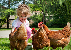 Young girl interacting with backyard chickens