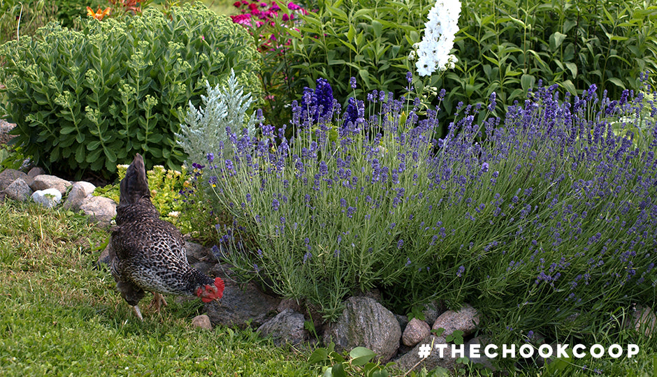chickens are good for your gardens