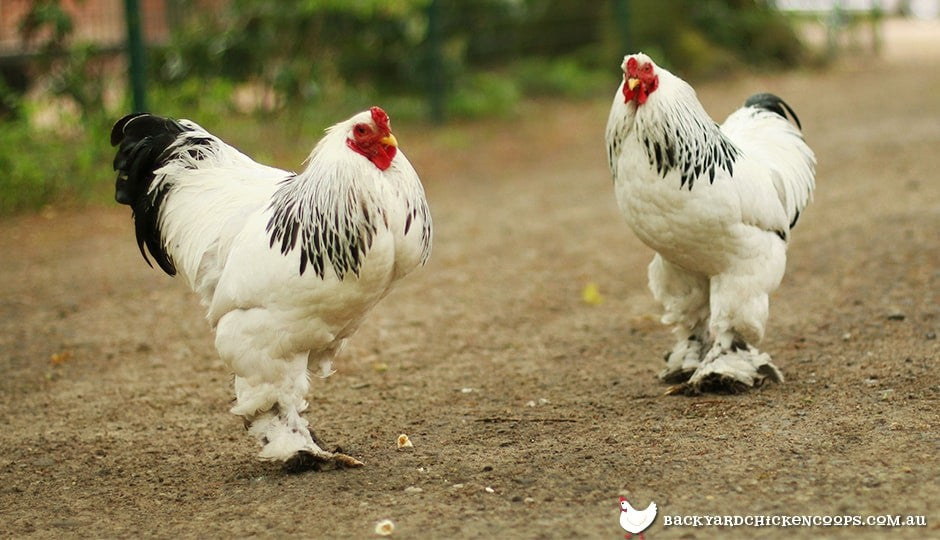 5-reasons-to-love-cochin-chickens-2
