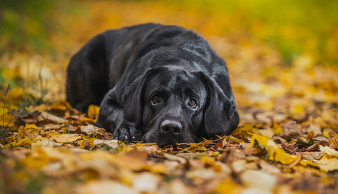 Black-labrador-with-chickens-train-your-dog-with-these-easy-steps